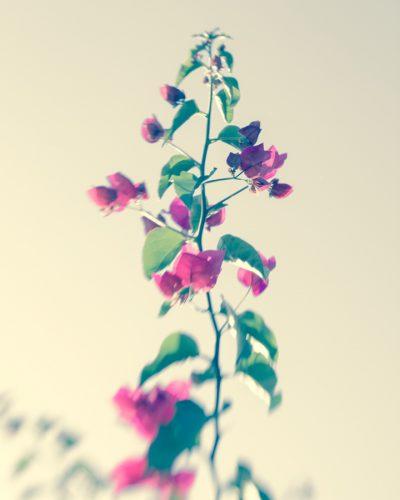Bougainvillea flora art for your walls